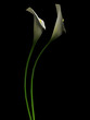 3D callas on the black backgraund