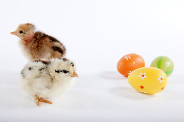 Two cute baby chicks