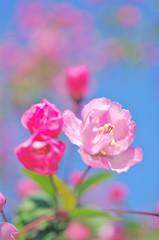 ハナカイドウの花と莟