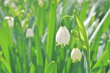鈴蘭水仙の花