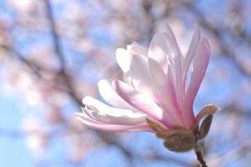 シデコブシの花