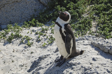 An African penguin eyes visitors in South Africa