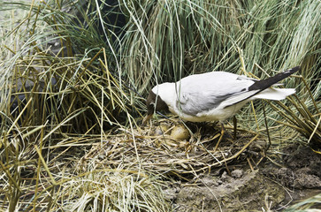 seagull hatches out eggs
