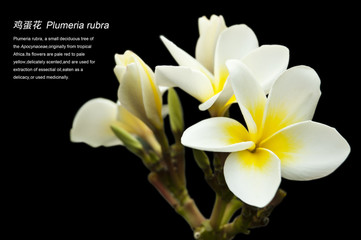 Plumeria rubra and annotation