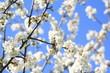 Obstbaum im Frühling
