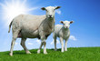 Mother sheep and her lamb in spring