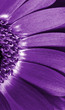 Close up  purple daisy gerbera .