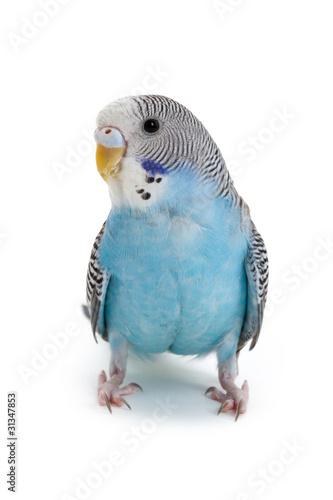 Foto op Canvas Papegaai blue budgie