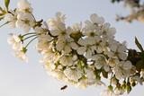 fiori di melo ricchi di polline poster