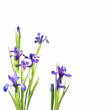 Iris bleus, fond blanc