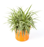 chlorophytum dans pot orange