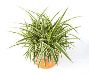 chlorophytum détouré dans pot deco orange