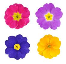 Cztery Kolorowe kwiaty pojedyncze Primroses