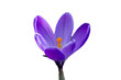 Beautiful Crocus isolated