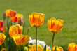 Yellow Tulips in closeup view