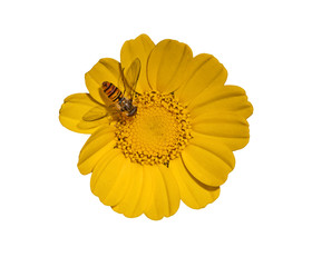 Golden Marguerite isolated on white background