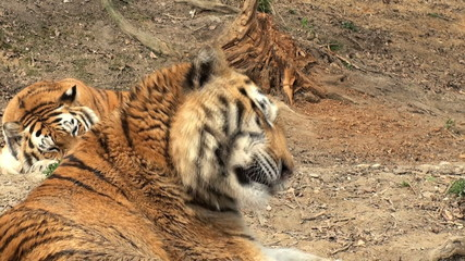 two tiger is relaxing and resting,close-up