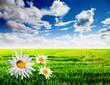 paisaje de primavera con margaritas