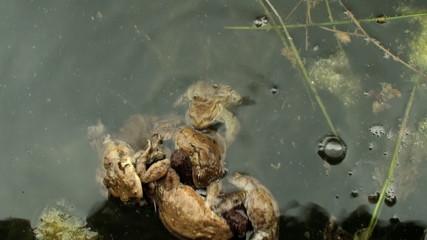 frog amphibious