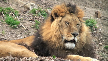 lion hunter rest