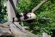 Playing Panda baby