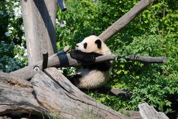 Playing Panda Cub