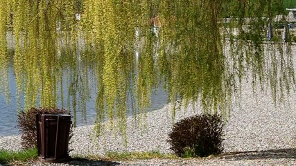 Willow tree on the lake beach