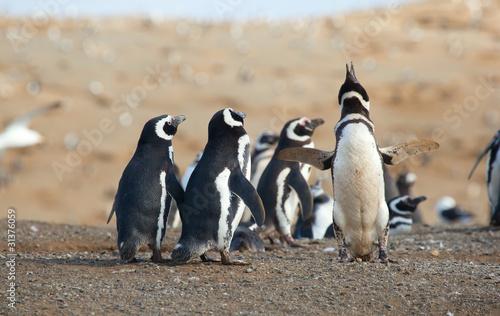 Foto op Plexiglas Pinguin Magellanic penguins in Patagonia, South America