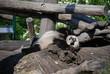 Sleeping Panda baby