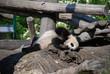Playing little Panda