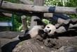 Smiling Panda Cub