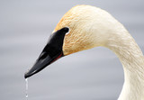 Trumpeter swan with water droplets on beak poster