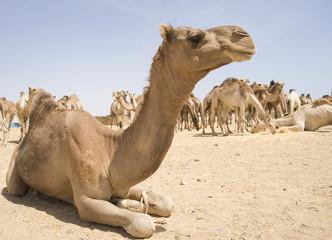 Dromedary camel at a market