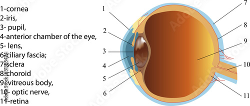 Structure of human eye (section)