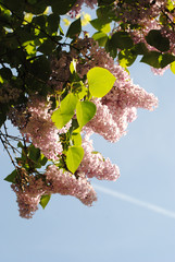 Fleurs de lilas, printemps 2011
