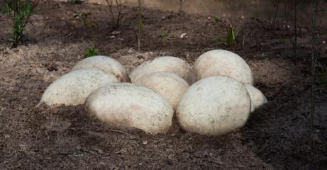 big white eggs in garden soil