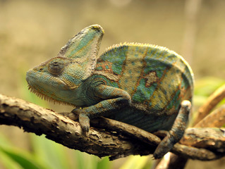 veiled chameleon, female adult from yemen, united arab emirates