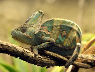 veiled chameleon, female adult from yemen, united arab emirates