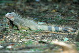 green iguana, male adult, guanacaste, costa rica, central americ poster
