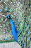 indian peacock or peafowl, costa rica, central america poster