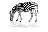 zebra with reflection isolate
