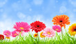 COlored gerber flowers with blurred sky background