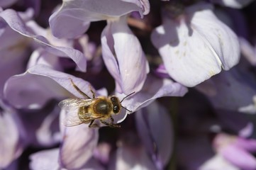 abeille sur une fleur de glycine