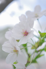 サクラの花のアップ