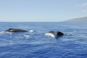 Humpback Whale in Lahaina, Mahui, Hawaii