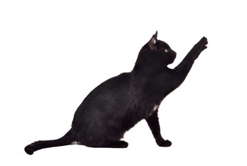 Black cat reaching up for toy and showing its claws silhouette