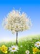 Arbre en fleurs au Printemps