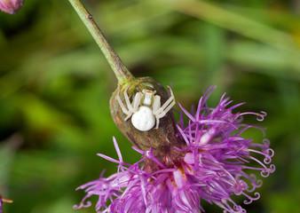 Spider on flower 1