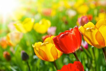 Bunte Tulpen Frühlingsblumen