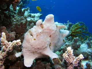 Riesen Anglerfisch Giant Anglerfish Antennarius commersoni